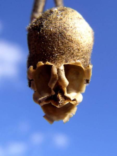 snapgdragon seed pod skull dragons skull 3