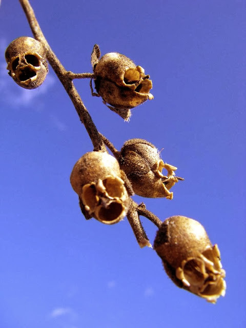 The_Dragon's_Skull_pApearance_of_Snapdragon_Seed_Pods_001
