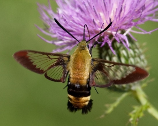 broad_bordered_bee_hawk_moth_5802