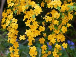 Yamabuki (Yellow Roses, Kerria Japonica)