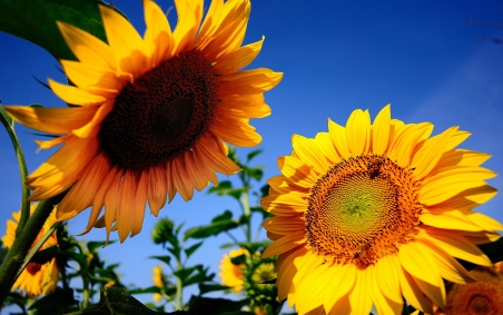 sunflowers-summer