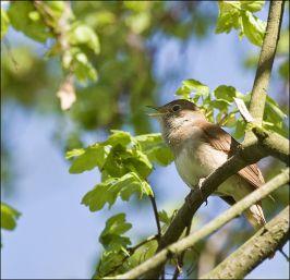 nightingale1