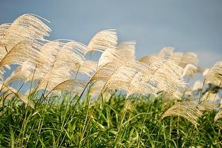 pampasgrass ocean