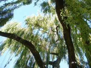 Under a willow