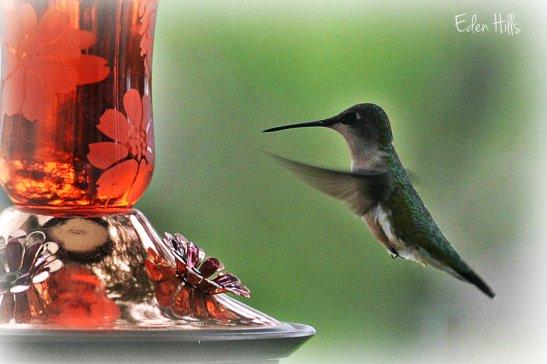 Hummingbird 1ew