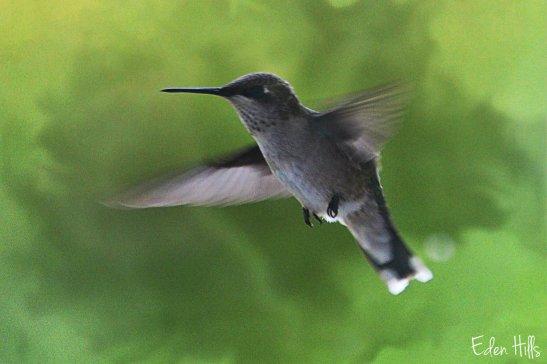 hummingbird Ew