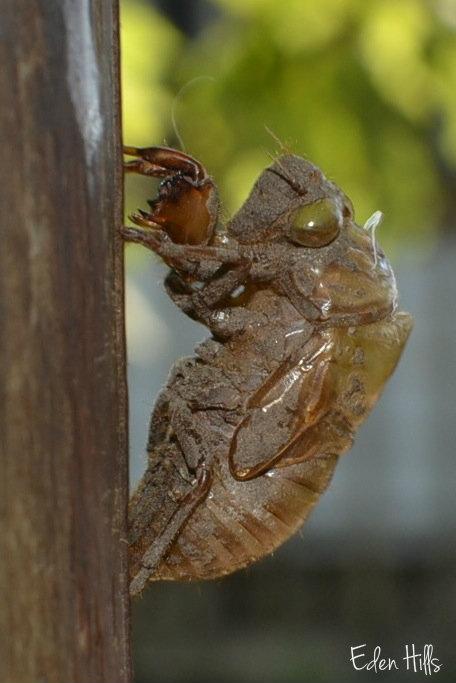 cicada_0396w