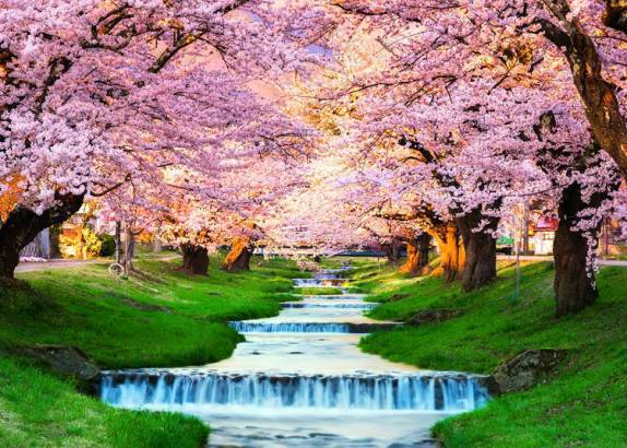 cherry trees in full bloom Japan